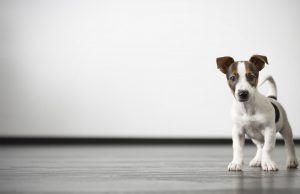 jackrusselpup_1920_cropped